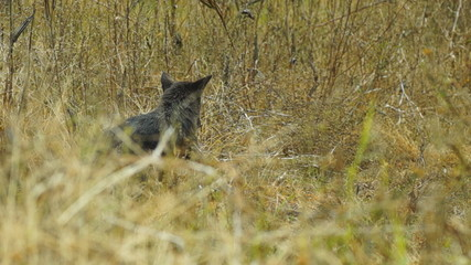 Rare Black Coyote in Grass