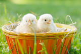 Fototapety two baby chicken in a basket