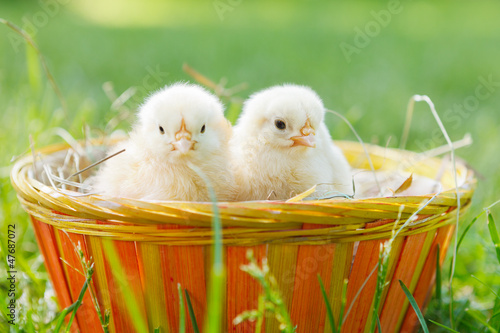 two baby chicken in a basket