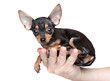 Toy Terrier in a man's hand