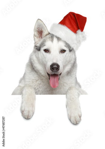 Husky dog in Santa red hat on banner