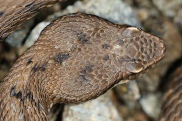 asp viper head (Vipera aspis francisciredi)