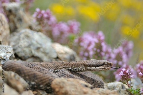 aspid (Vipera aspis) and wild flower