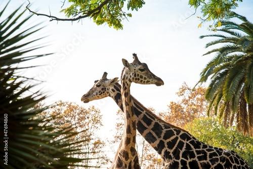 Two beautiful giraffes