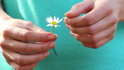 camomile in the hands of,flower in hand