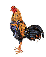 A cock,native species of Thailand,has beautiful color.
