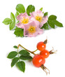 Dog rose flower and fruits