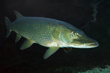 Underwater photo of a big Northern Pike.