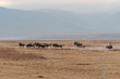 Ngorongoro  wildebeests