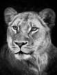 Löwenportrait in b/w