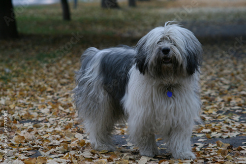 Polish Lowland Sheepdog in autumn