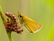 Essex skipper with green background