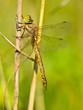 Dragonfly Resting on a Leaf
