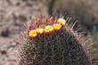 flowering barrel cactus