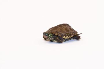 Cute Baby Reeves Turtle