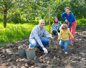 family harvesting potatoes in field