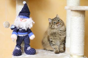Gatta siberiana e Babbo Natale