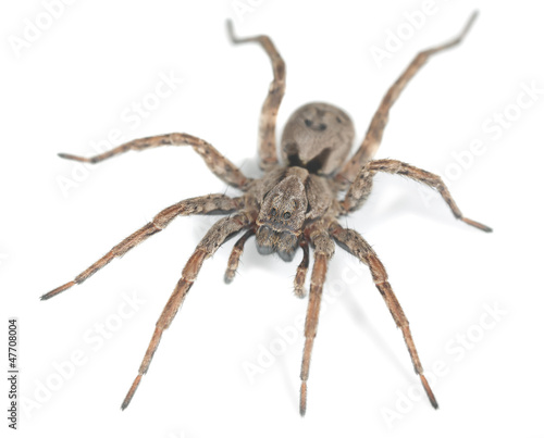Wolf spider isolated on white background, macro photo