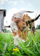 Portrait of goat eating grass on Masuria region in Poland