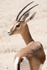 Dorcas gazelle, Gazella dorcas