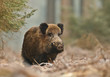 Wild boar in Bavarian forest