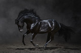 Fototapety Galloping black horse on dark background