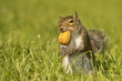 A squirrel looking at you while holding a nut in the green grass