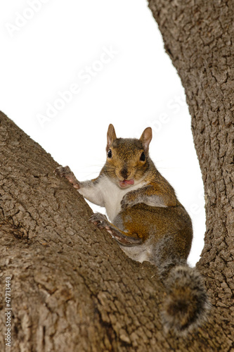 A squirrel looking at you  sitting on a tree with pink tongue
