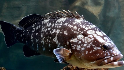 Dusky grouper swimming