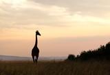 Silhouette of Giraffe in Serengeti National Park