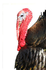 portrait turkey