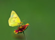 Orange Sulphur butterfly feeding on Indian Blanket flower