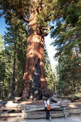 Grizzly Giant Sequoia, Mariposa Grove, Yosemite NP
