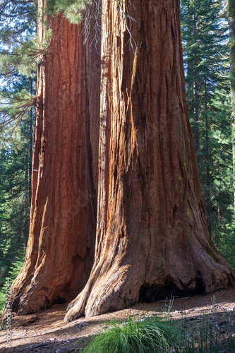 Giant Sequoia, Mariposa Grove, Yosemite NP