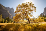 Big Oak, Yosemite Valley