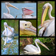 Five photos mosaic of pelicans