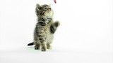 Cute pet baby tabby kittens playing and having fun