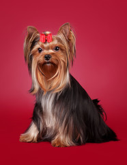 Young Yorkie on dark red background