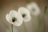 Fototapety Poppy