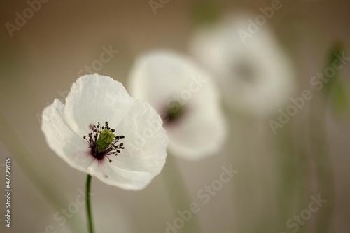 Poppy © vladimirfloyd