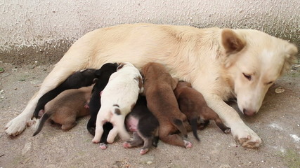 stray dog pups breast feeding. sequence