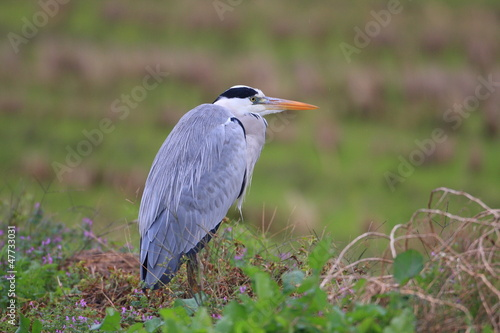Grey heron (Ardea cinerea) in Japan