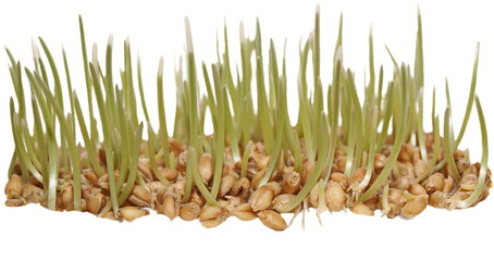 germination of wheat isolated on white