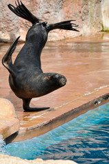 Sea Lion in a marine show