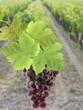 vigne, grappe de raisin rose