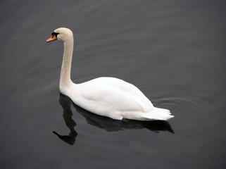 Austrian Swan