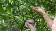 Woman hand pick gather ripe hazel nutwood nuts nut-tree branch