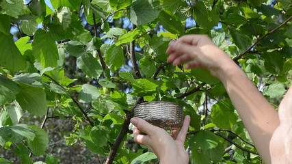 Woman hand pick gather ripe hazel nutwood nuts nut-tree branch