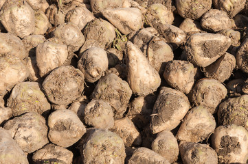Closeup of heap of sugar beets