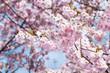 Blühende Japanische Kirsche (Prunus serrulata)